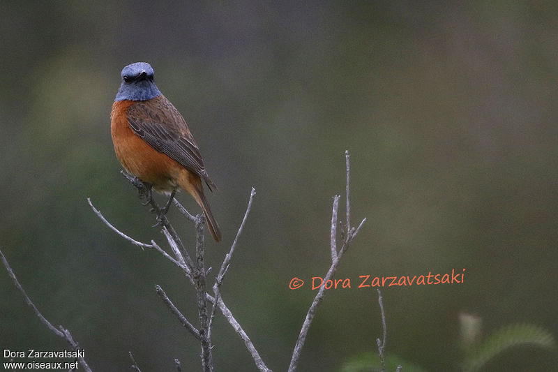 Cape Rock Thrush male adult