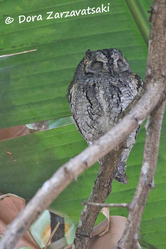 African Scops Owl adult