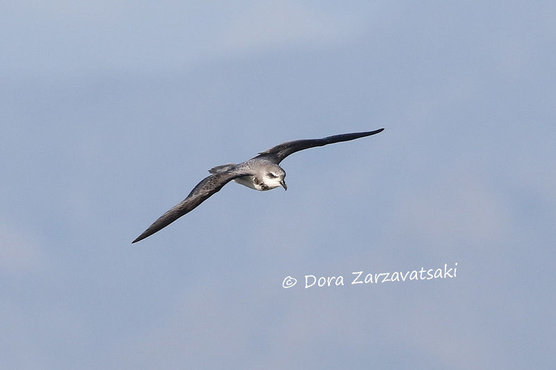 Soft-plumaged Petrel adult, Flight