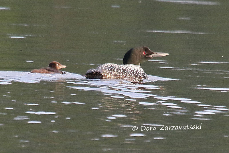 Common Loon , swimming, Reproduction-nesting