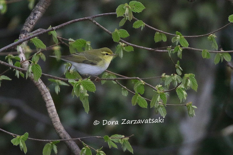 Wood Warbler adult, camouflage