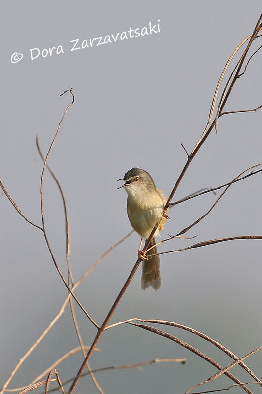 Prinia simple adulte, identification, chant