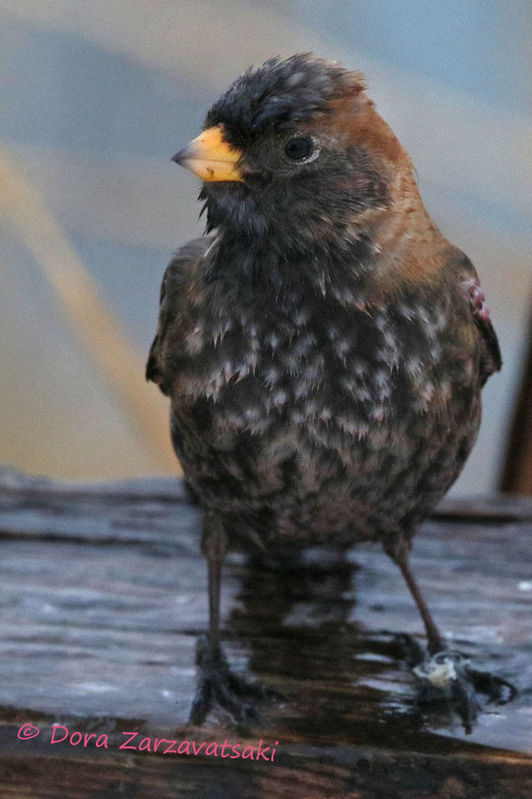 Asian Rosy Finch