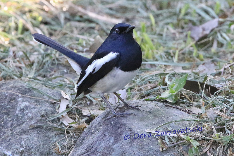 Oriental Magpie-Robin adult, identification