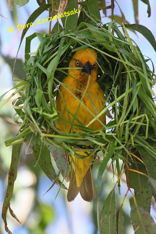 Cape Weaver male adult, Reproduction-nesting