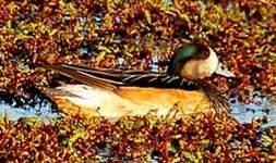 Canard de Chiloé