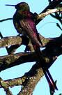 Colibri sapho