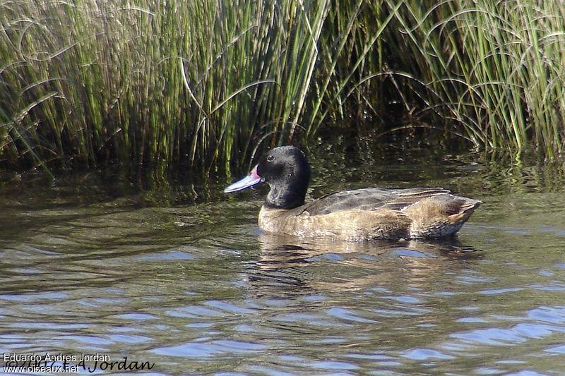 http://www.oiseaux.net/photos/eduardo.andres.jordan/images/heteronette.a.tete.noire.eajo.1g.jpg