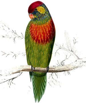 Loriquet versicolore