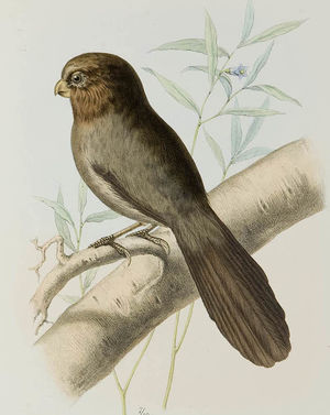 Paradoxornis tridactyle