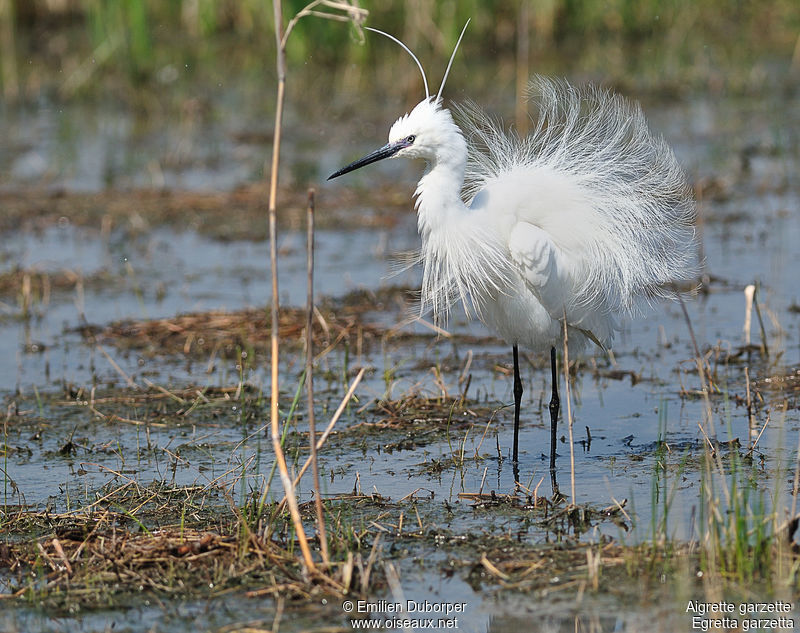 Aigrette garzette , identification
