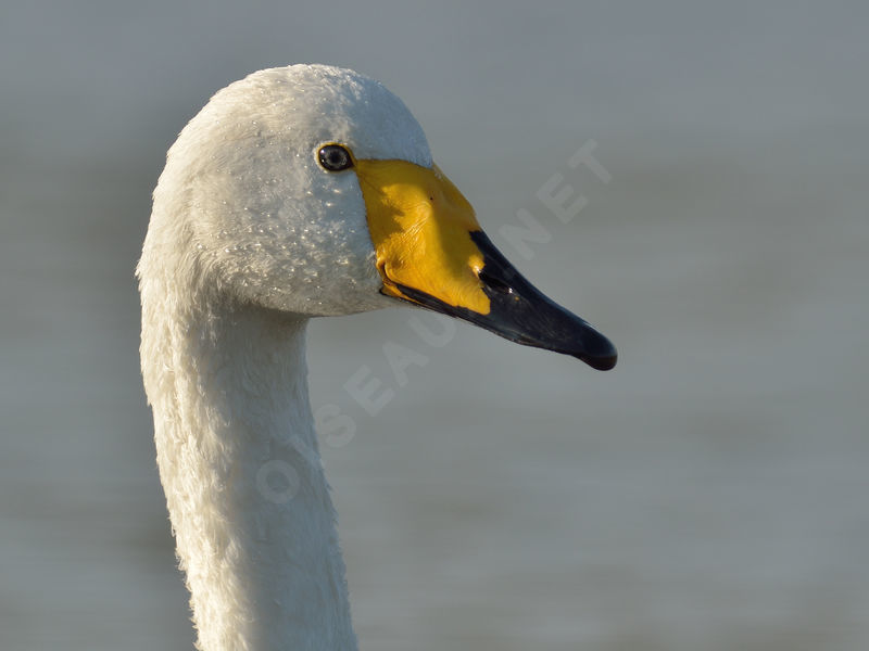 Cygne chanteur adulte