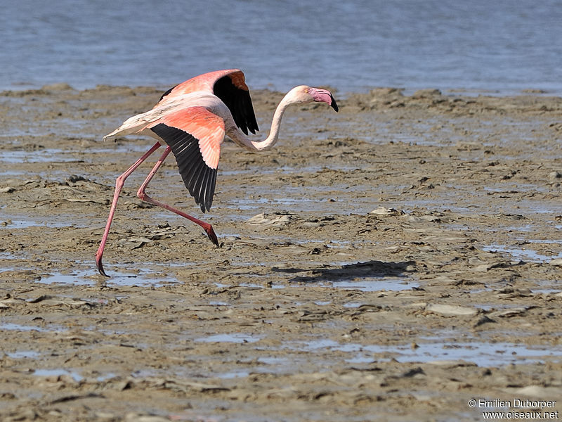 Flamant rose adulte, Comportement