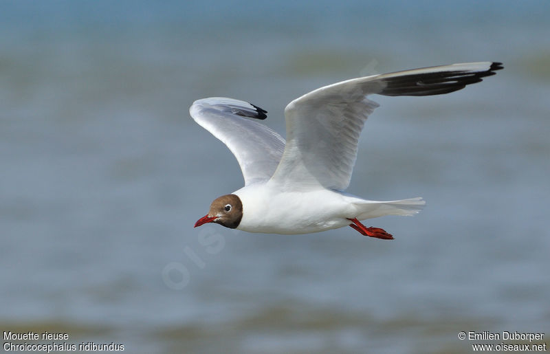 Mouette rieuse adulte, Vol
