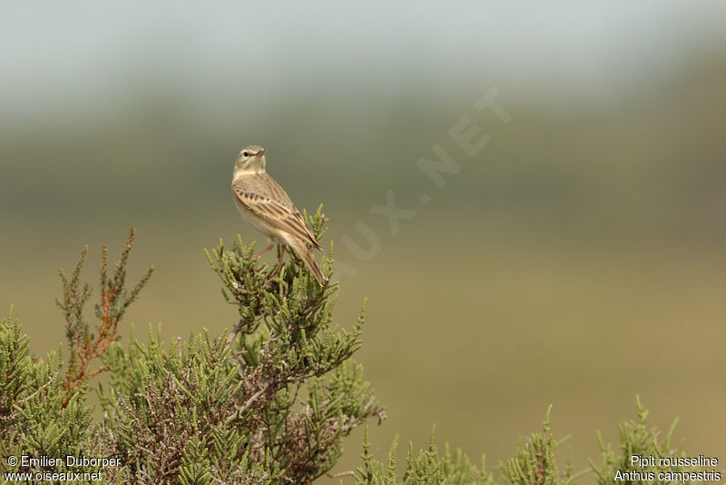 Pipit rousseline adulte, identification