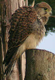 Falconiformes