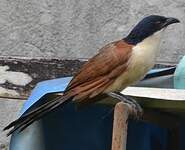 Coucal à nuque bleue