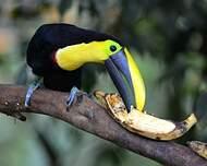 Toucan du Chocó