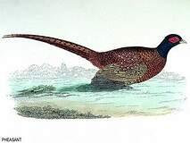 Galliformes