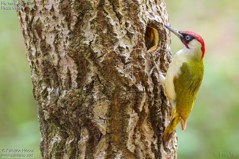 European Green Woodpecker - Picus viridis