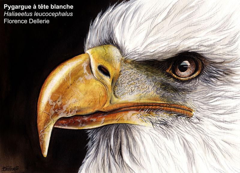 Pygargue t te blanche adulte flde91181 - Comment dessiner un aigle royal ...