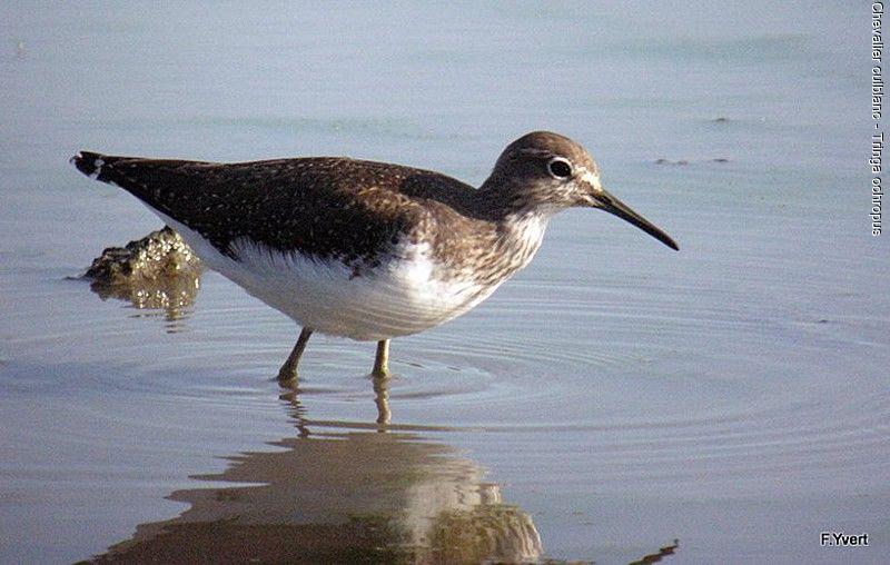 un oiseau - Ajonc - 12 octobre trouvé par Jovany Chevalier.culblanc.flyv.1g