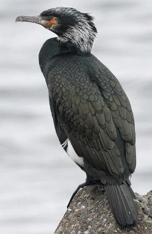 Cormoran de Temminck