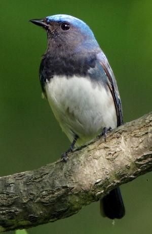 Gobemouche bleu