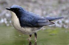 Rossignol bleu