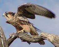 Faucon lanier