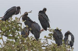 Cigogne d'Abdim