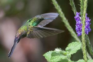 Colibri à queue bronzée