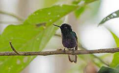 Colibri de Jardine