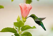 Colibri falle-vert