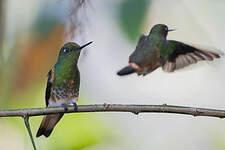 Colibri flavescent