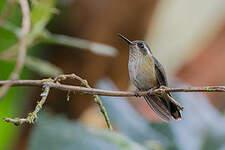 Colibri moucheté