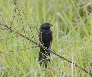 Coucal noir