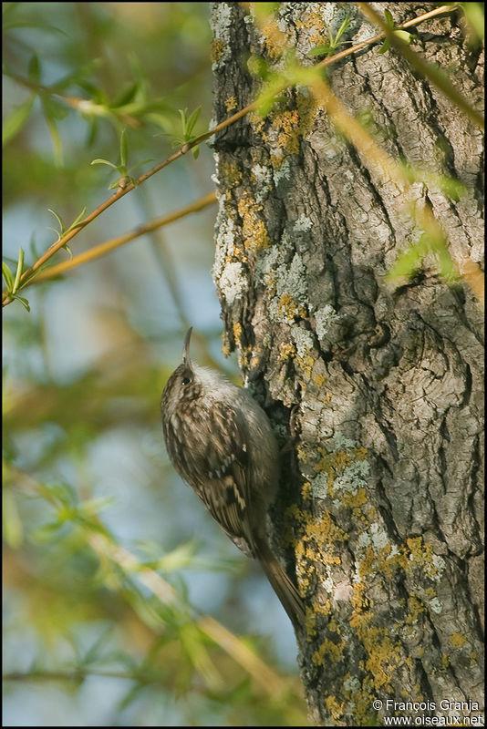 Short toed treecreeper certhia brachydactyla adult ref for Oiseaux des jardins