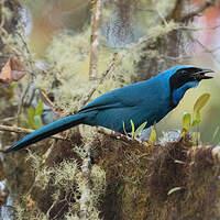 Geai turquoise