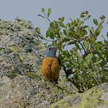 Monticole de roche