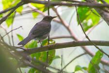 Merle d'Équateur