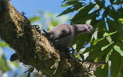 Pigeon vineux