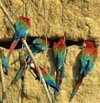 Ara chloroptère
