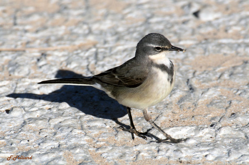 Cape Wagtail - Motacilla capensis adult - ref:frfo73889