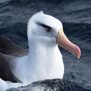 Albatros de l'île Campbell