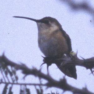 Colibri charmant
