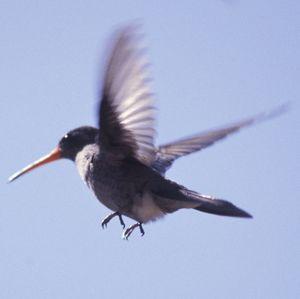 Colibri sombre