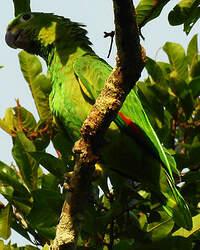 Amazone guatémaltèque