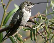Colibri vesper