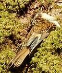 Grimpereau des bois